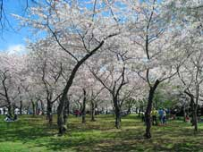 cherryblossoms2009